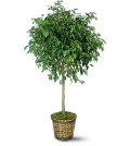Where to rent FICUS TREE in Howell MI
